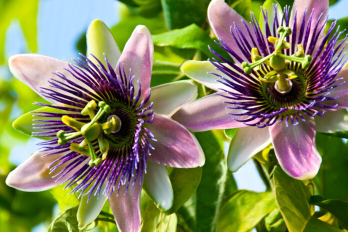Passionsblume Passiflora Nahaufnahme