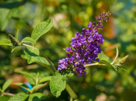 Vitex Agnus-Castus flowers, also called Chasteberry, Vitex, Chastetree, Chaste Tree, Abraham's balm or Monk's Pepper, growing in Friuli, Italy