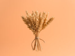 A bunch of ripe wheat ears in the air on a pastel pink background, isolated. Minimal concept