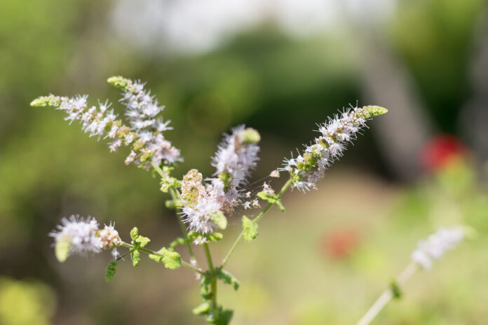 Group of Actaea racemosa Flowers: White Efflorescence.