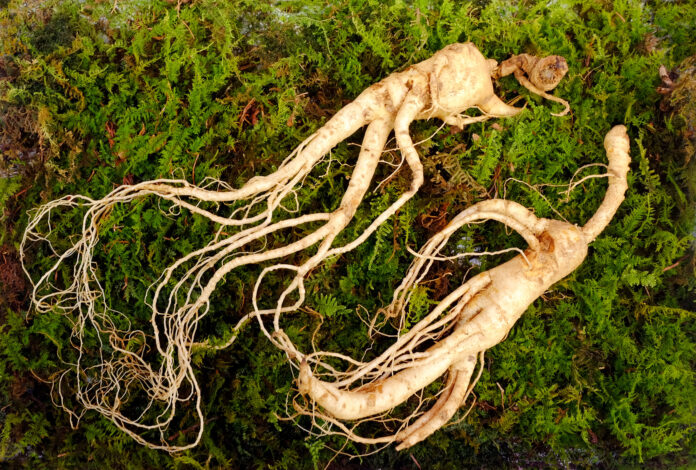 Wild Korean ginseng root. Wild ginseng can be processed to be red or white ginseng. Ginseng has been used in traditional medicine.