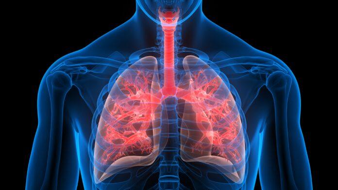 Illustration 3D du système respiratoire humain - anatomie des poumons