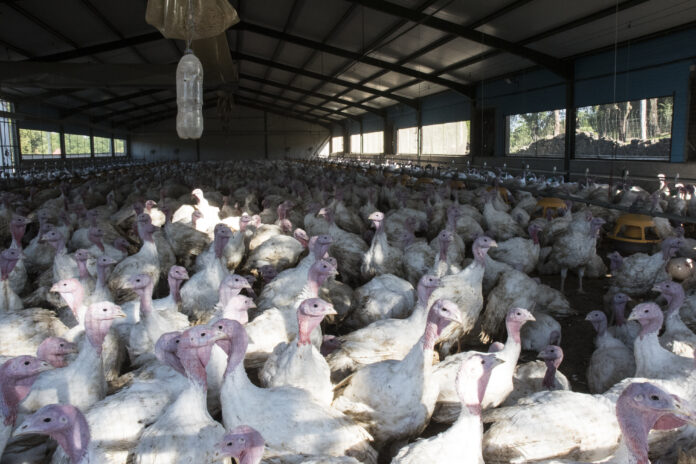 Turkey fattening farm, in intensive system, indoors and under controlled conditions natural light
