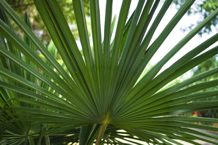 A green leaf of Serenoa repens, commonly known as saw palmetto, is the sole species currently classified in the genus Serenoa. It is a small palm (Marche, Italy, Europe)