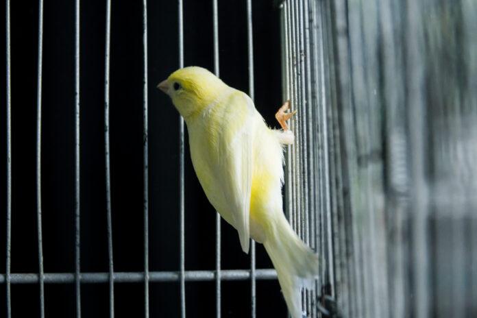 schöner gelber Kanarienvogel in einem Käfig
