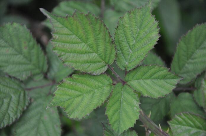Blackberry leaf. Rubus idaeus leaves top view. Close up. Selective focus.